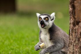 Lemur_%281%29