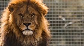 Lions_11_%281%29